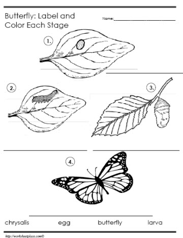 Worksheets Butterfly Life Cycle Worksheet life cycle of a butterfly worksheetsworksheets label the stages